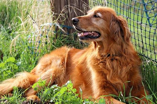 ゴールデンレトリバー-毛が金色が多い