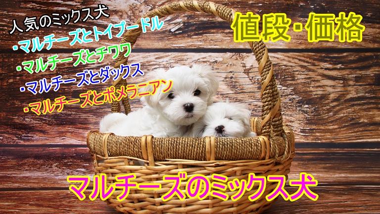 マルチーズ-ミックス犬-トイプードル-チワワ-ダックス-ポメラニアン-値段-価格