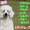 ミディアムプードル-子犬-値段-価格