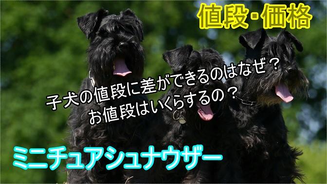 ミニチュアシュナウザー-子犬-値段の差-理由-価格