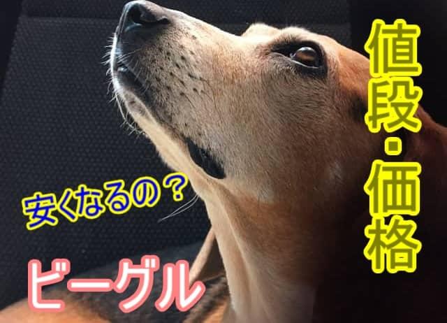 ビーグル-安い-値段-里親-成犬