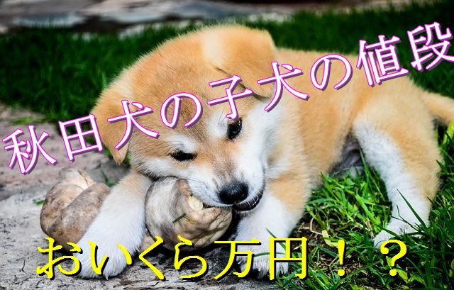 秋田犬-値段-価格-相場-いくら