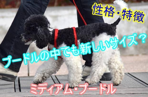 ミディアムプードル・性格・特徴・レア犬種