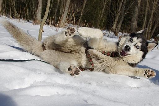 シベリアンハスキー寒さに強い