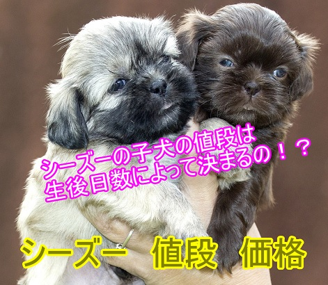 シーズーの子犬の値段-生後日数によって価格が決まる