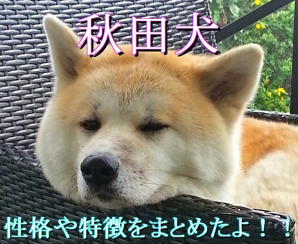 秋田犬-性格や特徴-まとめ