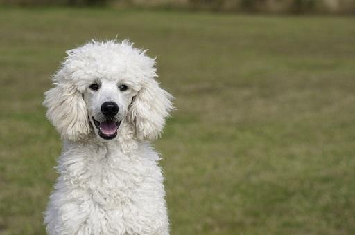 ミディアムプードル-子犬-値段-価格-販売