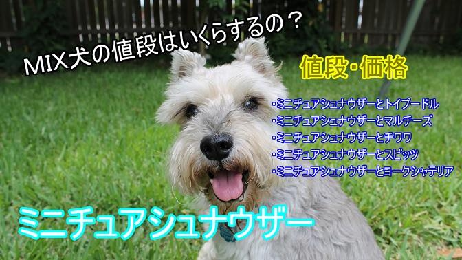 ミニチュアシュナウザー-ミックス犬-値段-価格-トイプードル-マルチーズ-チワワ-スピッツ-ヨークシャーテリア