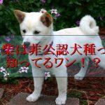 豆柴-豆柴犬-非公認犬種