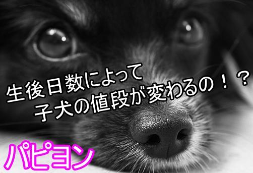 パピヨン-子犬の値段-違い-生後日数によって変わる