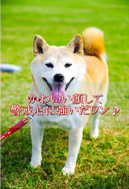 柴犬-性格-警戒心が強い