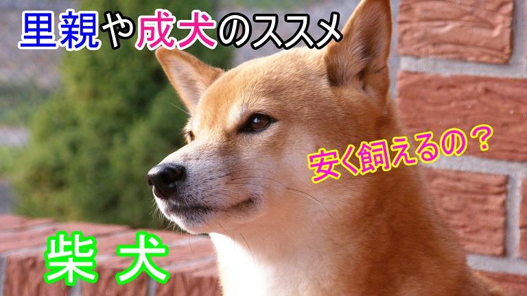 柴犬-安い値段-価格-里親-成犬