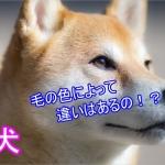 柴犬-毛色-赤-値段-価格