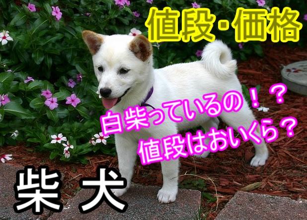 白い柴犬-値段や価格について