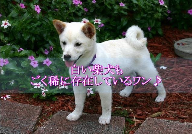 柴犬-白い犬-稀に存在する