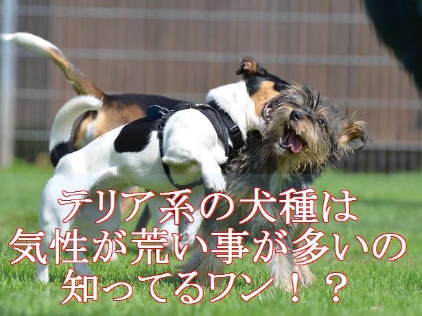 小型犬-よく吠える-テリア系犬種は気性が荒い